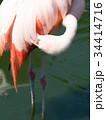 フラミンゴ 鳥 フラミンゴ科の写真 34414716