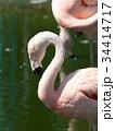 フラミンゴ 鳥 フラミンゴ科の写真 34414717