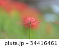 秋の花 一輪の彼岸花 34416461