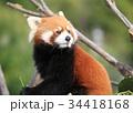 レッサーパンダ 34418168