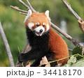 レッサーパンダ 34418170