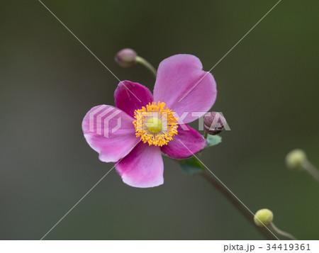 赤紫のシュウメイギク 34419361