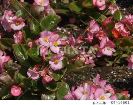 桃色の花はベコニアの可愛い花 34419601
