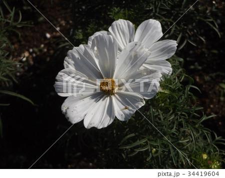 秋の花の代表白い花のコスモス 34419604