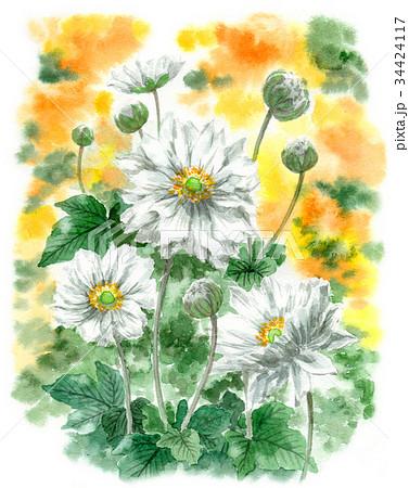 水彩で描いた八重咲きのシュウメイギク 34424117