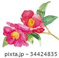 山茶花 水彩画 花のイラスト 34424835