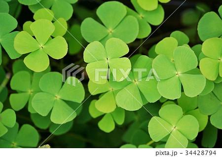 四つ葉、幸せ、幸運、グリーン、エコのイメージ写真 34428794