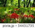 彼岸花 曼珠沙華 花の写真 34431735