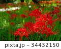 彼岸花 曼珠沙華 花の写真 34432150