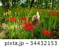 彼岸花 曼珠沙華 花の写真 34432153