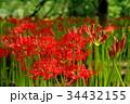 彼岸花 曼珠沙華 花の写真 34432155