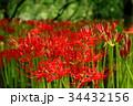 彼岸花 曼珠沙華 花の写真 34432156