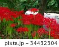 彼岸花 曼珠沙華 花の写真 34432304