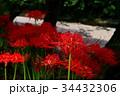 彼岸花 曼珠沙華 花の写真 34432306