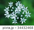 ハナニラの花 34432468
