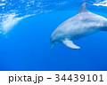 イルカ 34439101