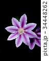 植物 花 クレマチスの写真 34448262