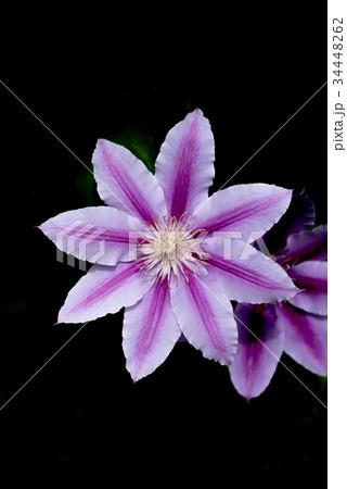 紫色のクレマチスのクローズアップ 34448262