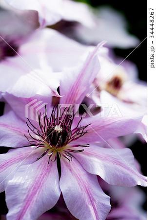 紫色のクレマチスのクローズアップ 34448267