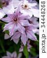 植物 花 クレマチスの写真 34448268