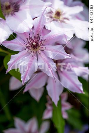 紫色のクレマチスのクローズアップ 34448268