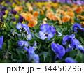 パンジー 花 植物の写真 34450296