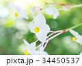 白花秋海棠 秋海棠 植物の写真 34450537