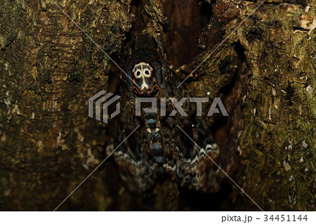 生き物 昆虫 クロメンガタスズメ、こんなにうまく木の皮に化けているのにドクロマークが残念です 34451144