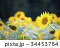 ひまわり 向日葵 向日葵畑の写真 34453764
