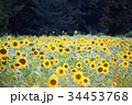 ひまわり 向日葵 向日葵畑の写真 34453768