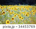 ひまわり 向日葵 向日葵畑の写真 34453769