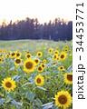 ひまわり 向日葵 向日葵畑の写真 34453771