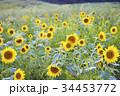 ひまわり 向日葵 向日葵畑の写真 34453772