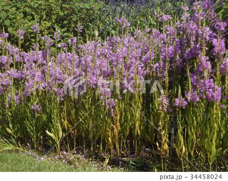 この青の花はカクトラノオ 34458024