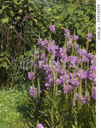 この青の花はカクトラノオ 34458026