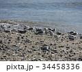 検見川浜の海岸で給餌をするミユビシギ 34458336