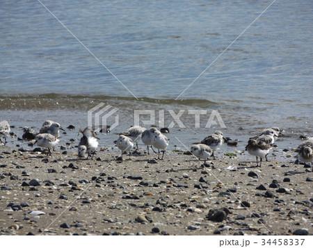 検見川浜の海岸で給餌をするミユビシギ 34458337