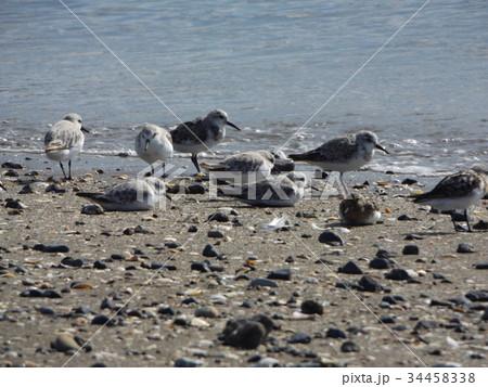 検見川浜の海岸で給餌をするミユビシギ 34458338