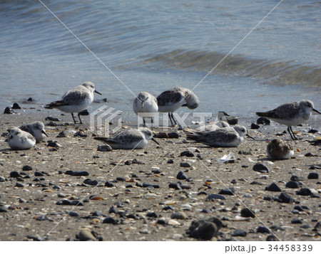 検見川浜の海岸で給餌をするミユビシギ 34458339