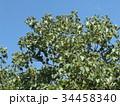 これから黒く熟し白い種を生むナンキンハゼの未熟な実 34458340