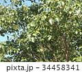 これから黒く熟し白い種を生むナンキンハゼの未熟な実 34458341