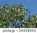 これから黒く熟し白い種を生むナンキンハゼの未熟な実 34458343