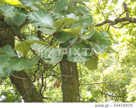 五月の餅を包むカシワの大きな葉 34459070