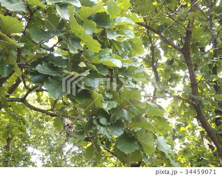 五月の餅を包むカシワの大きな葉 34459071