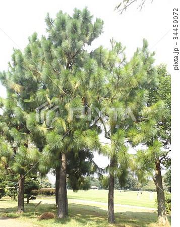 昭和の森のダイオウショウの大木 34459072