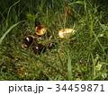 昭和の森で熟して落ちたトチノキの実 34459871