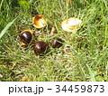 昭和の森で熟して落ちたトチノキの実 34459873