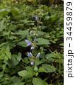 この青色の花はアキノタムラソウの花 34459879