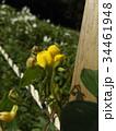 アズキの原種ヤブツルアズキ 34461948