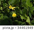 アズキの原種ヤブツルアズキ 34461949